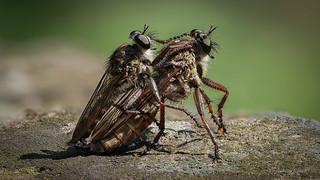 Raubfliegen (Asilidae) bei der Paarung