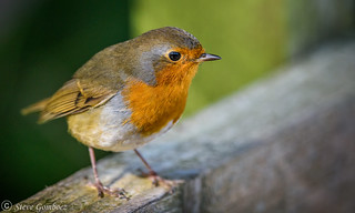 Robin waiting for passersby.