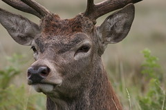 Stag (roger_forster) Tags: reddeer stag cervaselaphus richmondpark royalparks richmond london england wild