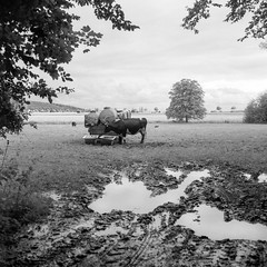 mamiya303 (salparadise666) Tags: mamiya c330 sekor 80mm orange filter fomapan 10050 caffenol rs nils volkmer cow animal landscape rural frame square medium format 6x6 view tlr waist level finder nature portrait hannover region calenberger land niedersachsen germany north lowlands plains film analogue 120 bw black white monochrome