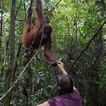 Kalimantan - Orang Utans und Nasenaffen