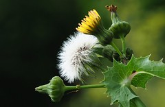 Sow thistle (G_E_R_D) Tags: macromondays evolution sowthistle thistle sonchus sonchusasper harethistle gänsedistel asteraceae plant flower blume pflanze