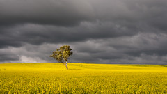 A tree, a crop and rain clouds (RWYoung Images) Tags: rwyoung olympus em1mk11 canola crop field rural tree cloud rain southaustralia blyth