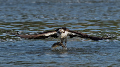 Balbuzard pêcheur  --- Osprey --- águila pescadora - 4/5 (Jacques Sauvé) Tags: balbuzard pêcheur osprey águila pescadora