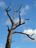tree (Julaquinte) Tags: tree coombeabbey coombepark coventry bear 29117 lessthanperfect 117picturesin2017