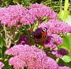 2017 Germany // Unser Garten - Our garden // im September // Sedum (maerzbecher-Deutschland zu Fuss) Tags: 2017 garten natur deutschland germany maerzbecher garden unsergarten september sedum schmetterlinf
