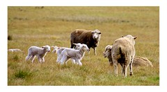 Spring lambs (explored) (Greenstone Girl) Tags: lambs nearlakeeppalock merinoewe borderliecestercrosslamb spring agriculture sheep