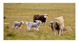 Spring lambs (explored)