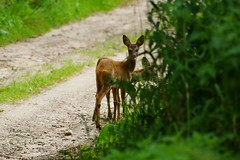 Friends on the road. (Jurek.P) Tags: roedeer sarny animals wildnature masuria mazury road poland polska jurekp sonya77