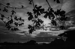 Back light - Film Leica (Photo Alan) Tags: film filmcamera filmscan filmleica leicamp cloud leaves tree water waterfront vancouver canada sky sunset dusk park landscape