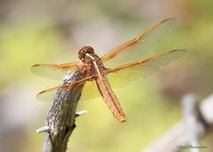 Flame Skimmer (sbuckinghamnj) Tags: dragonfly odonate odonata skimmer wyoming laurencesrockefellerpreserve grandtetonnationalpark grandteton