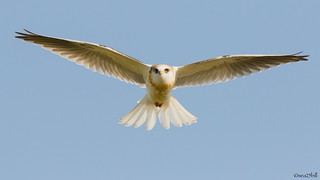 'WHITE-TAILED KITE