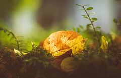 Here comes the autumn (Dhina A) Tags: sony a7rii ilce7rm2 a7r2 iscoopticultramc95mmf2 isco optic ultra mc 95mm f2 cinema projector projection lens schneider fall autumn colorful leaves leaf
