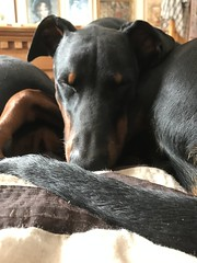 Me and My Tail - Black and Tan Dobermann Pinscher Saxon (firehouse.ie) Tags: fantasticnature chien hund animals pero animal dogs dog saxon pinscher pinschers doberman dobermanns dobermans dobermann dobeys dobey dobies dobie dobes dobe