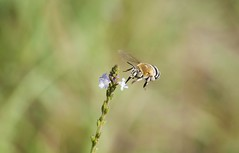 Volando vengo (Aristides Díaz) Tags: macro insecto insectoenvuelo abeja florecillassilvestres vegadegranada pdc sigmaapo180macrof56