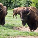 American bison thumbnail