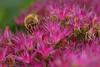 20130908-111222 (sunbears) Tags: animal sony a77 slta77v slta77 macphun luminar molecularphotography animalplanet bokeh nature macro 50mm 50mmf28 50mmf28macro minoltalens bee magenta flower insect hymenoptera anthophila lincolnparkzoo zoo honeybee apis chicago