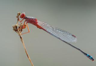 Red & Blue Damsel - Xanthagrion erythroneurum