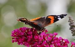 Admiral (Vanessa atalanta) (Hugo von Schreck) Tags: admiral vanessaatalanta hugovonschreck schmetterling butterfly falter insect insekt macro makro redadmiral tamron28300mmf3563divcpzda010 canoneos5dsr
