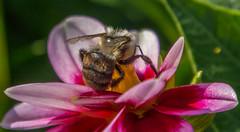 _DSC0356 (johnjmurphyiii) Tags: 06107 bees connecticut elizabethpark garden insect originalnef summer tamron18400 usa westhartford flowers johnjmurphyiii macro