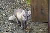 Just a Pup (Dan King Alaskan Photography) Tags: arcticfox fox vulpeslagopus kit young close rabies prudhoebay alaska canon50d sigma150600mm