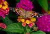 Butterfly 4 (gdajewski) Tags: d750 dajewski nikonafsnikkor200500mmf56eedvr nikond750 sb900 butterfly flash gdajewski speedlight fx fullframe