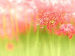 Manjushage~曼珠沙華~ (Tomo M) Tags: lycorisradiata 彼岸花 redspiderlily bokeh light red nature 巾着田 japan autumn september fullbloom trioplan