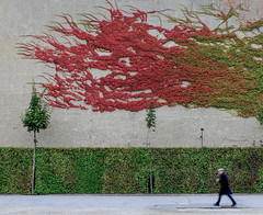 Autumn Fire (CoolMcFlash) Tags: autumn fall person streetphotography street walking vienna belvedere ivy plant wall herbst herbstlich color farben efeu gehen candid wien pflanze fotografie photography wand fujifilm x30