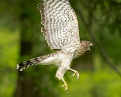 Cooper's Hawk (flying cats (AKA Penny Carlson)) Tags: bird hawk coopers immature fly wings gm gmaster 100400 fe emount nj newjersey wildlife hunterdon
