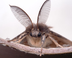 Gypsy Moth - Lymantria dispar (m) turned up in the kitchen. (mickmassie) Tags: gardentq209783 insecta lepidoptera
