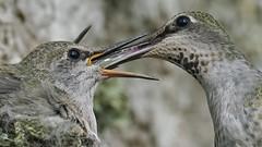 Feeding Young Hummingbirds (photosauraus rex) Tags: bird hummingbird outdoor vancouver bc canada