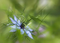 Jungfer im Grünen... (angelika.kart) Tags: natur pflanzen blüte blume blätter blau grün