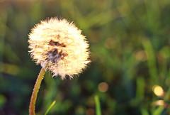 whimsy (.vi0letdreamer.) Tags: dandelion wish macro nature plant summer fluff whimsy whimsical canon seeds still stilllife bokeh