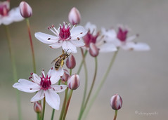 Himalayan effort (cherryspicks (on/off)) Tags: flower bee nature summer garden insect pollen petal macro plant