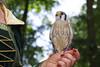 2017-08-06 14-48-21 _K1_4211ak (ossy59) Tags: k1 pentax oberursel oberurselerfeyerey dfa hdpentaxdfa28105mmf3556eddcwr 28105 buntfalke amerikanischerturmfalke falcosparverius falke falcon halcon kestrel americankestrel