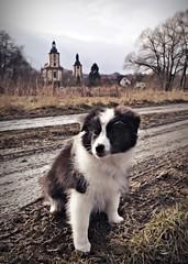 petite fleur (Uli He - Fotofee) Tags: ulrike ulrikehe uli ulihe ulrikehergert hergert nikon nikond90 fotofee fleur sheltie shetlandsheepdog burghaun kirchen regen regenwetter