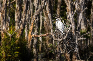 eastern great egret nesting