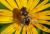 #Bee# zoom me :-) (danielbisang) Tags: sony sonyalpha sonya77ii sigma sigmaobjektiv swiss schweiz blume flower yellow gelb biene bee color makro macro