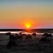 Buffalos at sunrise at Chobe National Park, Botswana