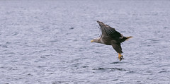 F1 WTE PInky-1331 (WendyCoops224) Tags: 100400mml 80d isleofmull scotland canon eos ©wendycooper white tailed eagle