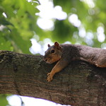 Squirrels in Ann Arbor at the University of Michigan (August 21st & 22nd, 2017) thumbnail