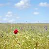 (Andrew :-)) Tags: bronicasqa zenzanons150mm35 kodakektar100 mediumformat 120 6x6 poppy poppyfield