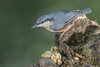 Nuthatch (Steve Nelmes Photography) Tags: animal avian beanbag birds cameragear canon canon14xteleconverter canon1dxmark2 canon2xteleconverter canon300mm28lmkii canon600exrt feathered forestofdean general nature nuthatch perched southwales stevenelmesphotography summer unitedkingdom wales wildanimal wildbird wildlife wildlifewatchingsuppliesbeanbag wirelessflash uk