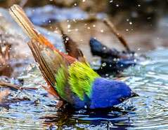 Taking a dip (backyardzoo) Tags: blue painted bunting finch family colorful explore