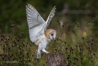 Barn Owl - Perfect landing 750_0344.jpg