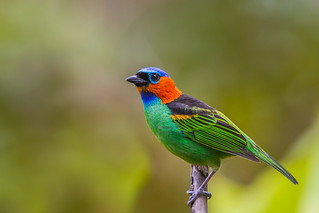 Red-necked Tanager - Brazilian Birds - Species # 208