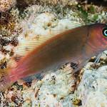 Red-speckled Blenny - Cirripectes variolosus thumbnail