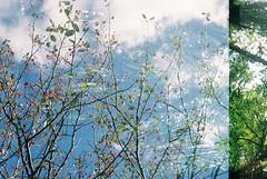 Swedish whitebeam 1 (avenwildsmith) Tags: film 35mm nature devon countryside analog analogue kodak retinette 1b grain england britain wild wilderness plant tree swedish whitebeam double exposure berries autumn sky clouds 35mmfilm kodakretinette1b