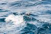 Puffin diving through a wave (martinstelbrink) Tags: puffin papageientaucher bird vogel seabird seevogel witlessbay witlessbayecologicalreserve obrienswhaleandbirdtours baybulls newfoundland newfoundlandandlabrador canada kanada sony alpha77ii a77ii sigma120400mmf4556 sigma tele