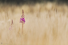 Rosebay willowherb (leavesnbloom photography by Rosie Nixon) Tags: greatwillowherb native scotland chamaenerionangustifolium perthshire perth tayside rural wildflowers flowers pink spire nature selectivefocus shallowdepthoffield field countryside rosebaywillowherb fireweed